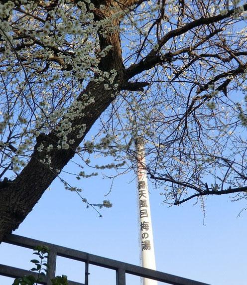 3月9日(2013) 梅の木と煙突:住宅街を自転車で走行中に発見。周辺に梅林が多くあることに驚きました(調布市)
