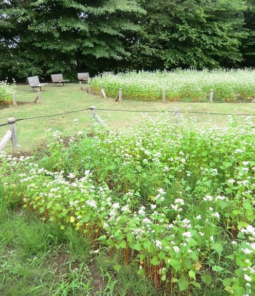 6月19日(2013) 深大寺城 そば畑(神代植物公園分園の水生植物園内):深大寺のそば組合や地元の小学校と協同で観賞用のそばを栽培しています