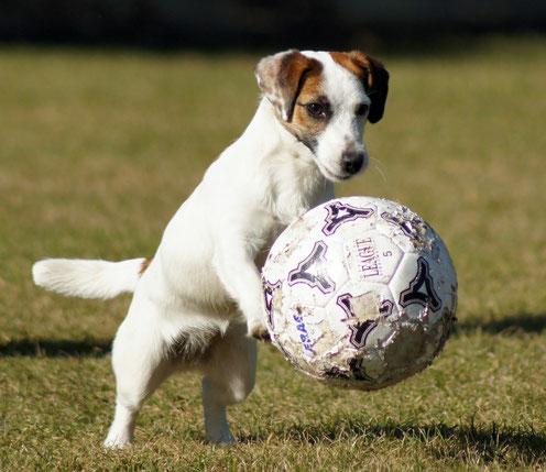 Jack Russell Terrier liebt Fussball spielen