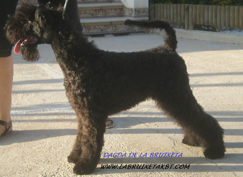 kerry blue terrier la bruixeta,venta de cachorros de kerry blue terrier