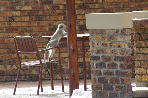 diebischer Affe im Kruger Nationalpark