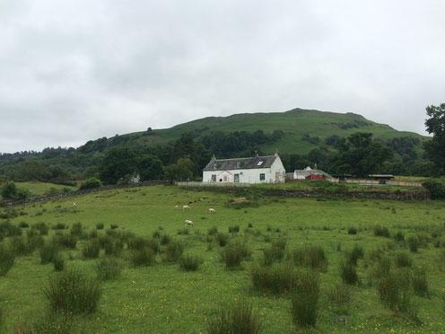 Nur Schafe und ein einsames Haus begegnen uns in der Natur bei Luss