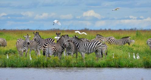 Tausende von Zebras in der Mababe Depression