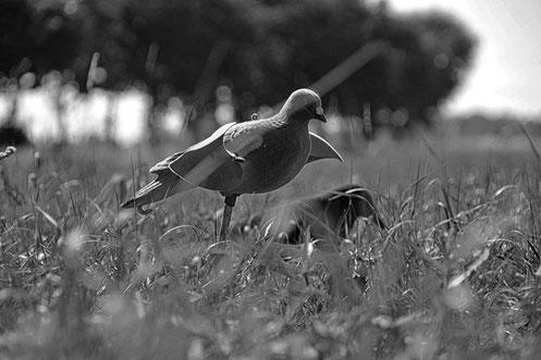 Lockbild bei der Taubejagd