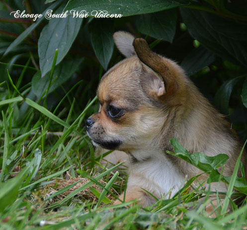 chihuahua chiot elevage eleveur france