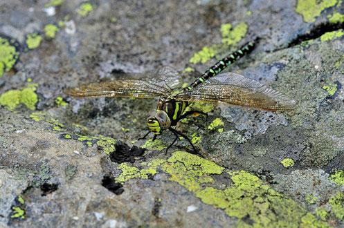 _DSC8786_Aeschna cyanea femelle mâle-Aeschna cyanea-Dragonfly-Southern Hawker-Aeshnidae