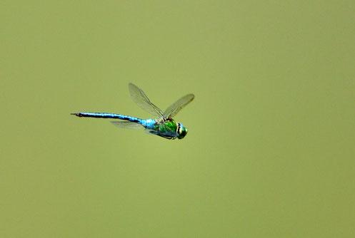 _DSC6890_Anax empereur-Anax imperator-Aeshnidae