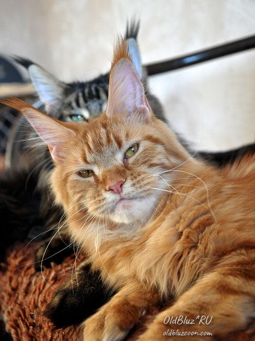 Escada SharmMuar кошка мейн кун красная мраморная MCO d 22