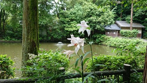 弁財天さまの池のところに咲いているササユリ