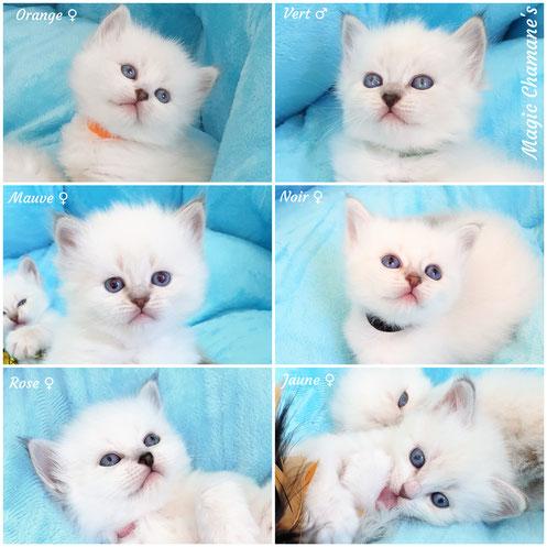 chaton sibérien , néva masquerade, chaton blanc , chaton hypoallergenique , chaton allergie