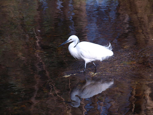 2月12日(2018 ) ウメの開花:野川公園の梅林にて。厳しい寒さが少し和らいだ日。陽あたりの良い場所に立つ一本の白梅が他に先がけて咲き始めました。