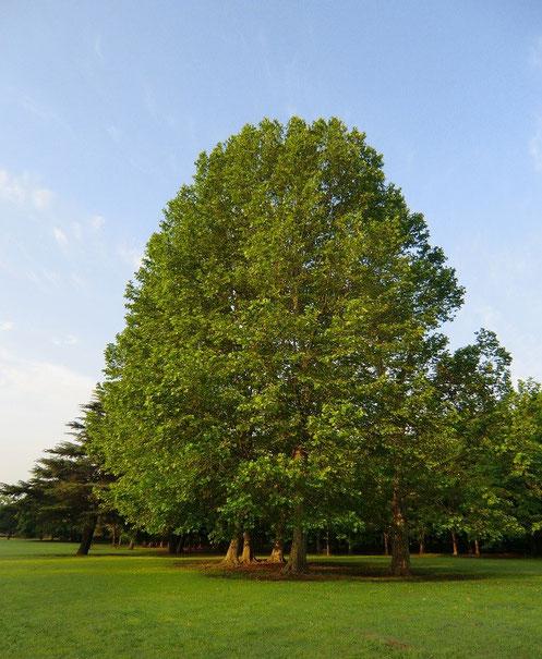 ●離れて見ると、5本が1本の木のように見える
