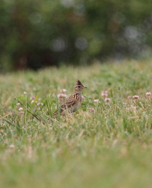 ●ヒバリ:武蔵野の森公園で6月6日に撮影