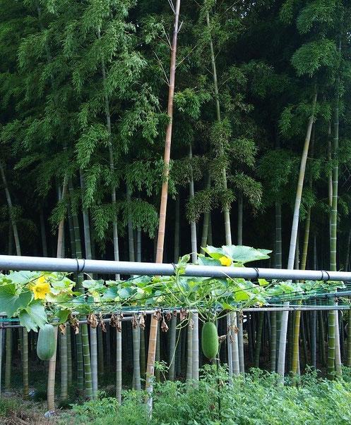8月25日(2014) 夏が旬の冬瓜と竹林(8月20日武蔵野市内で撮影):熟すと皮が厚くなり冬まで貯蔵できるので、夏野菜でも冬の瓜と書く
