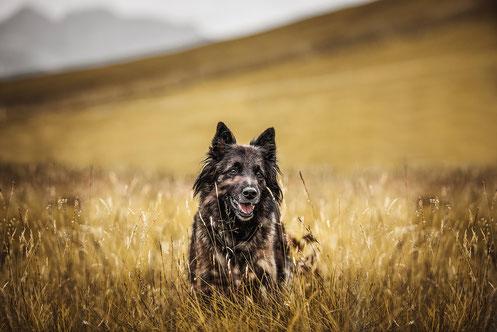 Belgischer Schäferhund in einer Blumenwiese im Hintergrund die Alpen festgehalten von der Hundefotografin Monkeyjolie