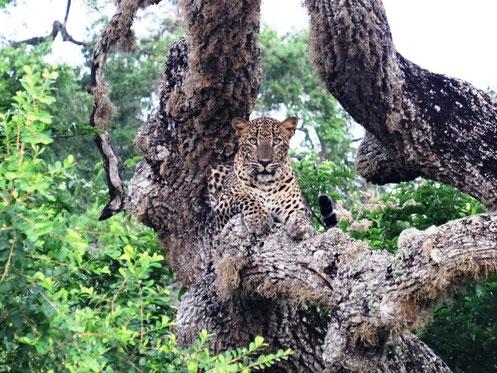 Luipaard gespot in Yala national park Sri Lanka