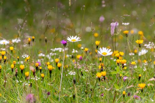 Artenreiches Grünland ist esentiell für die biologische Vielfalt