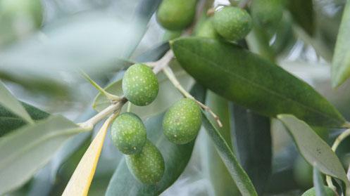 Taggiasca kurz vor der Ernte
