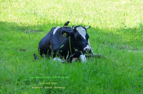 Urlaub in der Rhön, wiederkäuende Kühe auf der Wiese