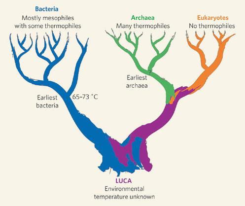 Premiers rameaux de arbre phylogénétique de la vie