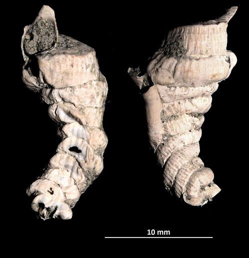 Petaloconchus intortus dal torrente Stirone