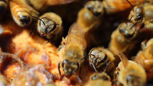 Abeilles dans une ruche miel de Manuka Nouvelle-Zélande