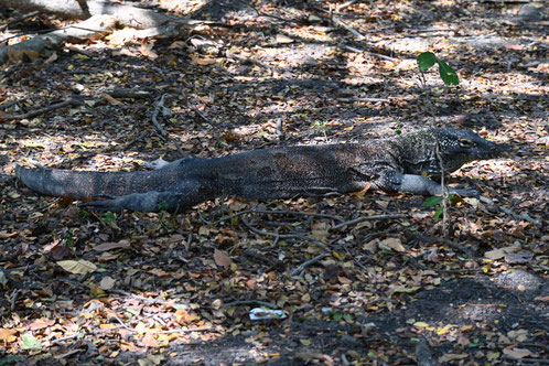 Komodo Dragon laying on the ground- Varanus komodoensis