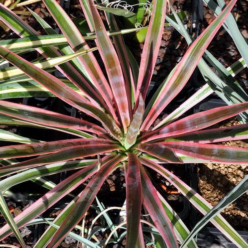 Yucca aloifolia Marginata