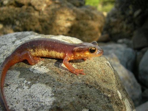 Egeïsche landsalamander (Lyciasalamandra helverseni) vrouwtje