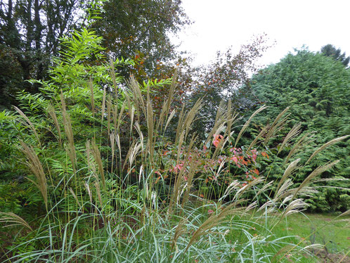 Miscanthus sinensis 'Rot Silber'