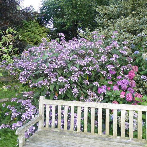 Le Chitalpa en fleurs