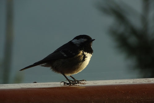 Tannenmeise coal tit