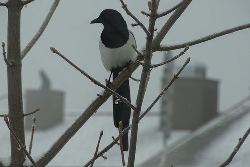 Elster magpie