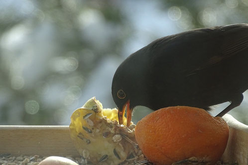 Amsel Apfel blackbird apple