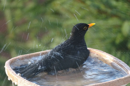Amsel badet blackbird takes bath