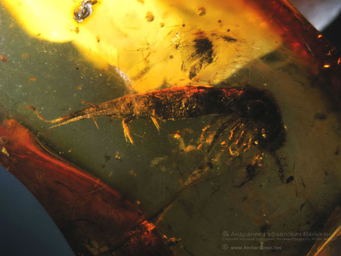 Inclusion in amber:  Zygentoma