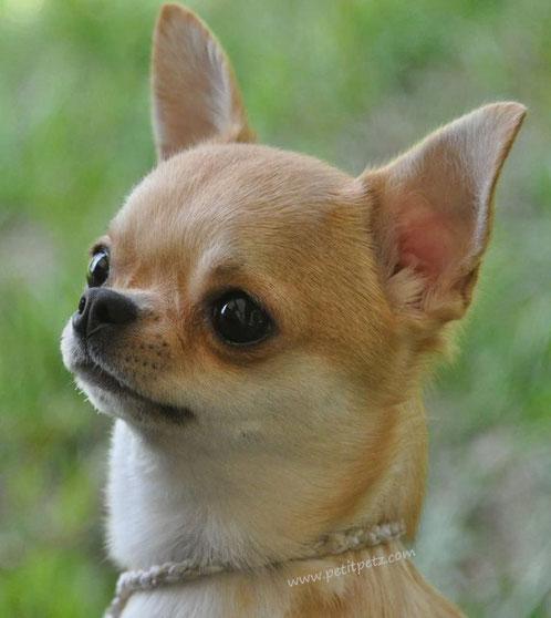 Chihuahua cabeza de venado o ciervo