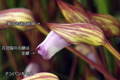 ナンバンギセルの花の側面  (2006.09.09 東京都立川市)
