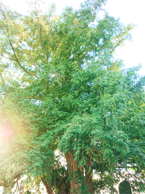 「高島の榧(かや)」 ※深谷市指定天然記念物
