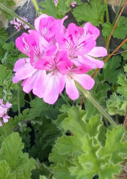 Pelargonium Pink Capricorn Pink Capitatum
