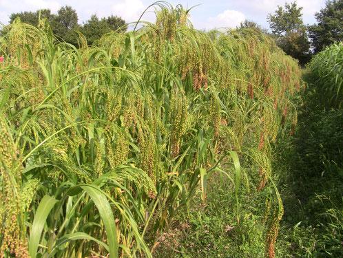 Photo variété landaise (panicum miliaceum)