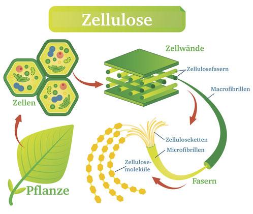 Bild: Wie entsteht Zellulose?, Strumpf-Klaus
