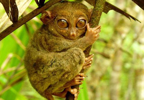 Spookdiertje in het Tangkoko National Park op Sulawesi