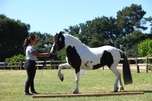 Fanfan Unhaikoa, concours d'élevage des 3 ans Poney à Tartas, juin 2018
