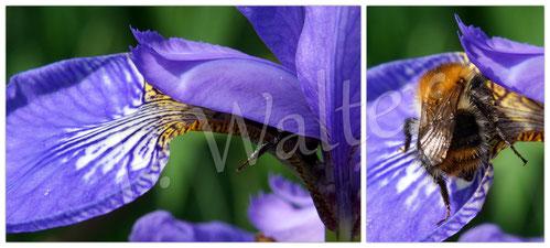 04.06.2016 : Hummel an der blauen Iris / Schwertlilie