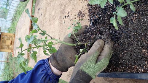 トマトの脇芽栽培@自給のための野菜づくり教室・さとやま農学校