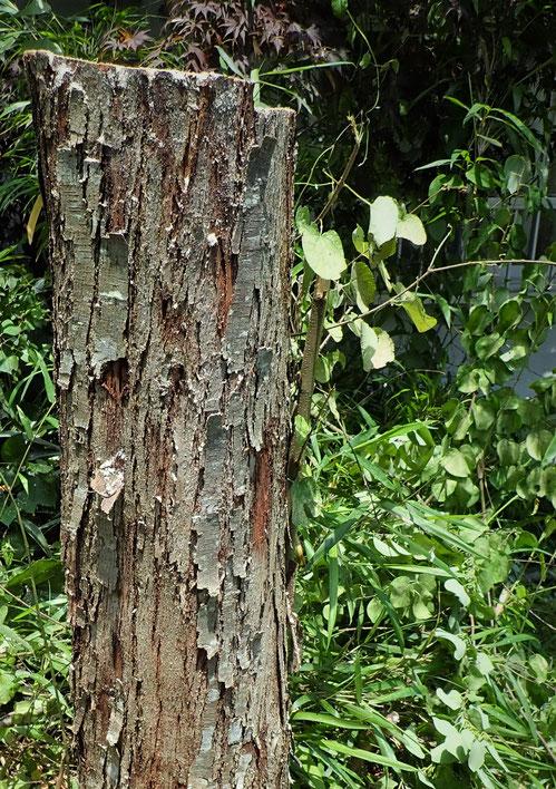 幼い枝を残しておいたので、また数年でぐうっと伸びてくることでしょう。こうして樹木は何度も更新して若返るのです。
