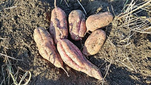 ミモレ農園 農薬不使用 白ねぎ