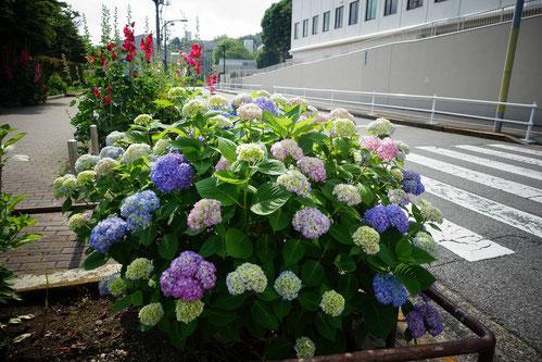 この紫陽花は「箱根山」へ行く道の途中に咲いているよ♪