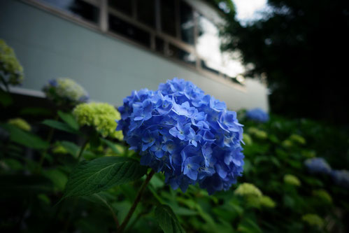 この紫陽花は、新大久保駅へ行く道で発見したよ。青色がほんと綺麗♪